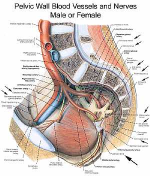 Pelvic nerves and vessels