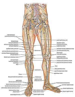 Nerves of the lower limb anatomy
