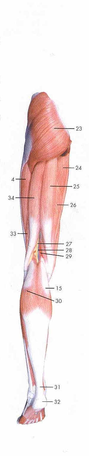 Lower limb anatomy