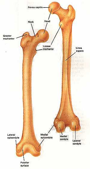 Femur bone anatomy