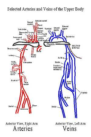 Major vessels of upper limb