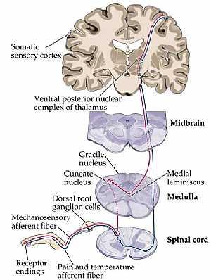 sensory system anatomy