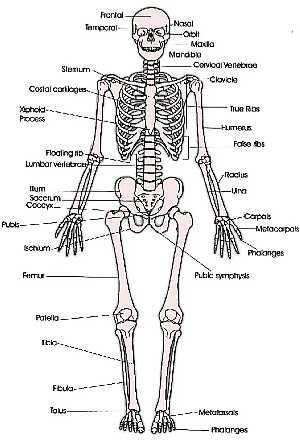 Anterior Skeleton (skeletal system)