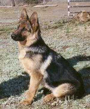 لبيـع عدد 5 جراء (German shepherd dog) جيرمن شيبر